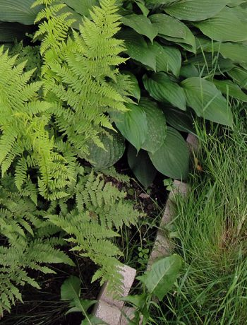 Ferns growing along the house