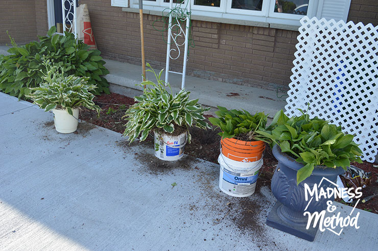 Hosta plants in buckets