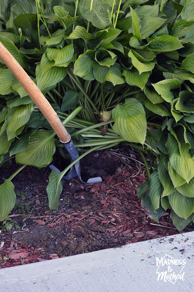 Digging under a large hosta plant