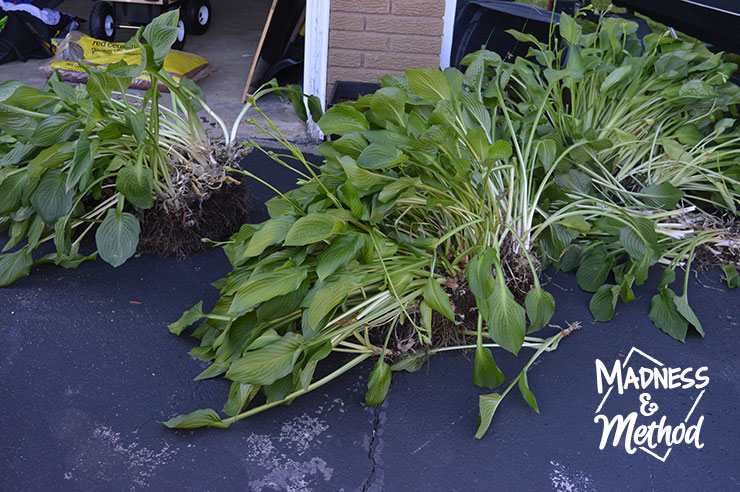 Large hosta plant in pieces