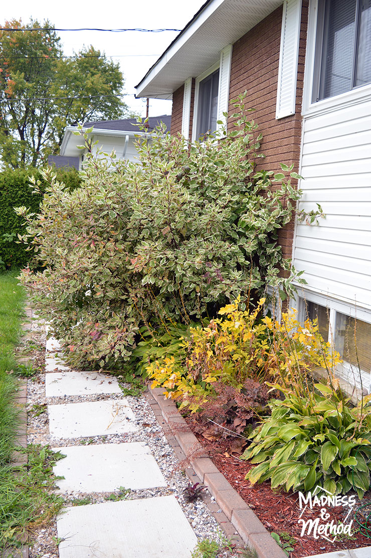 dogwood bush blocking walkway