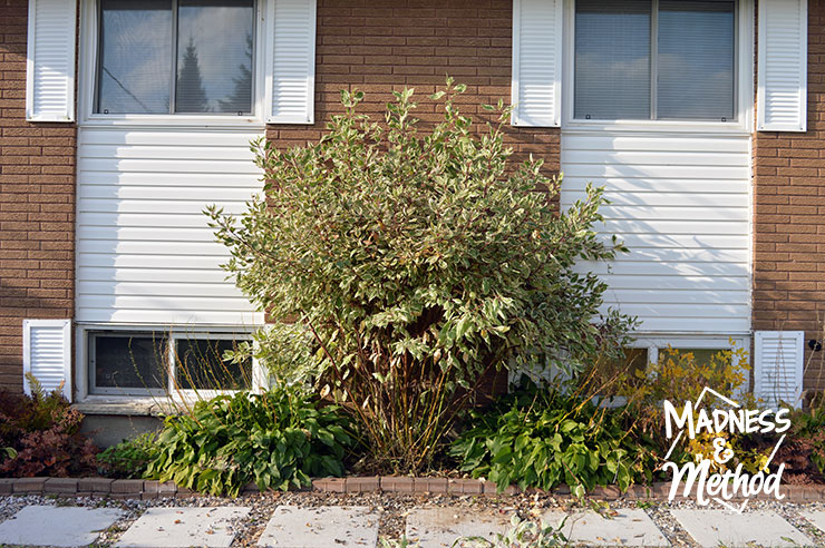 dogwood bush against a house