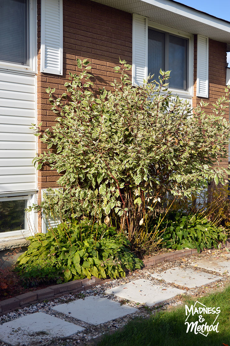 trimmed dogwood bush against a house