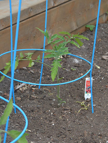 raised garden veggie tomato plants