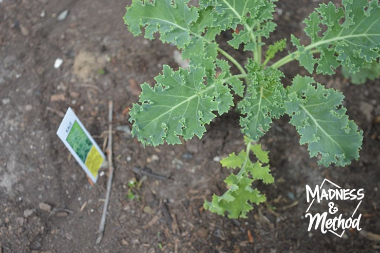 fresh kale in garden