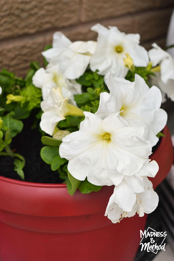 White flowers in a red pot
